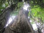 nantu trees