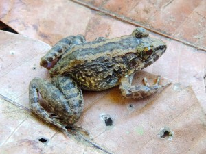Limnonectes larvaepartus, a new species of frog discovered  in Nantu